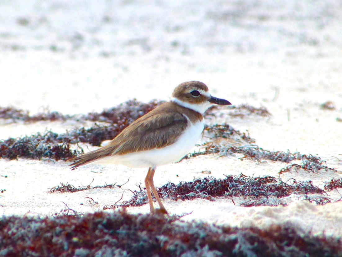 Wilson's Plover, Abaco 8