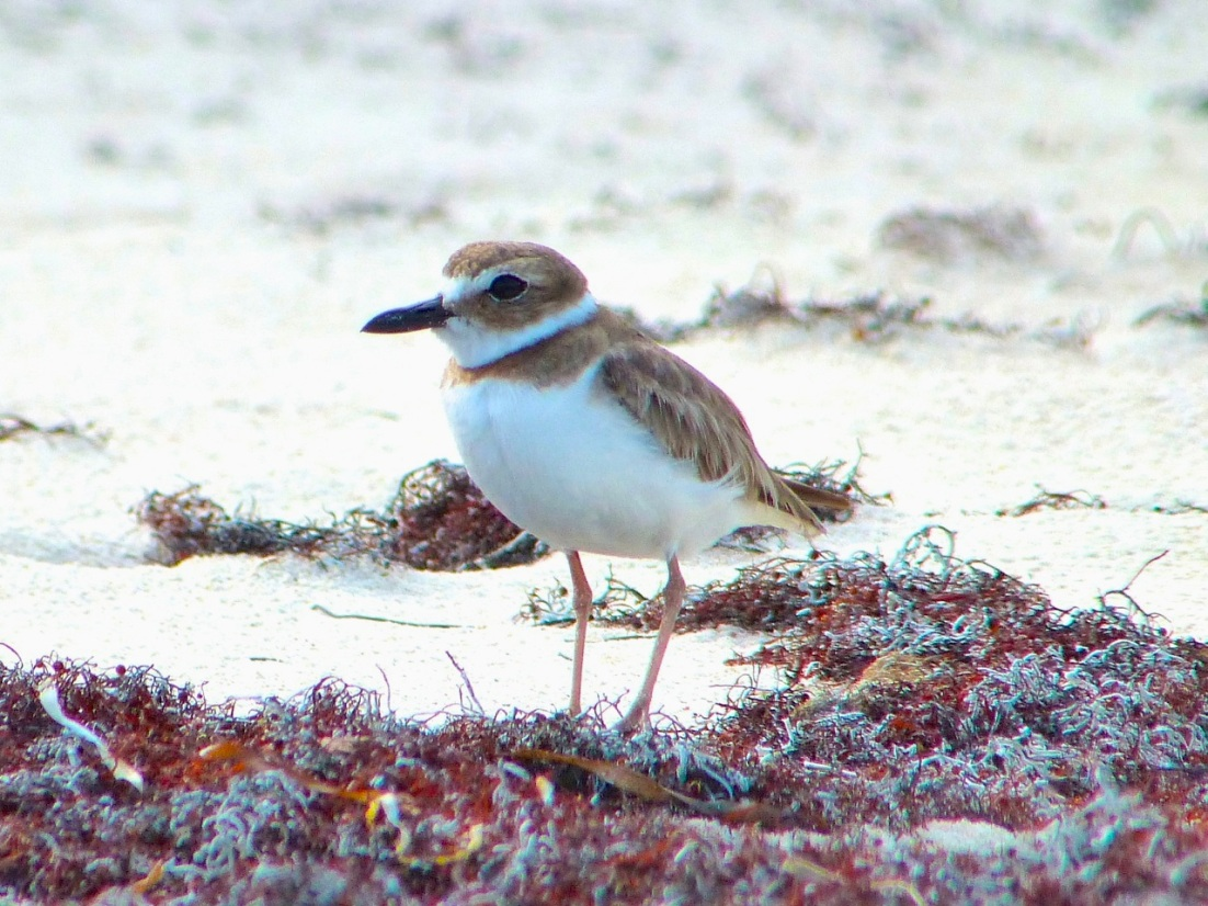 Wilson's Plover, Abaco 9