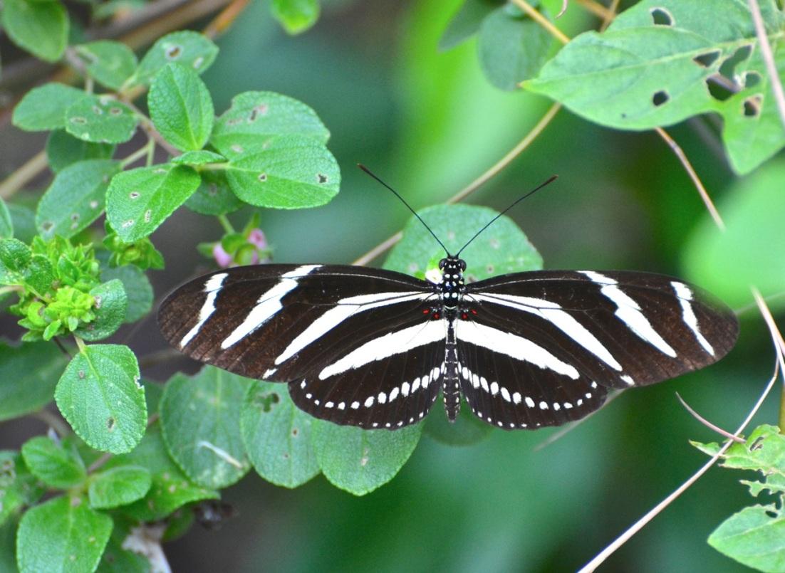 Zebra Heliconium Abaco CS 1