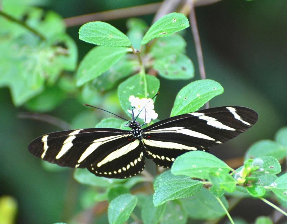 Zebra Heliconium Abaco CS 2