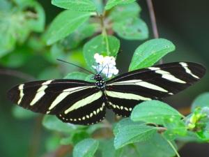 Zebra Heliconium Abaco CS 3