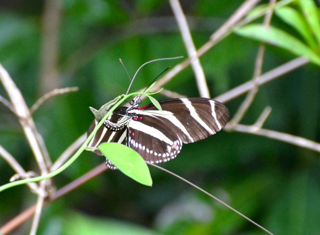 Zebra Heliconium Abaco CS 4