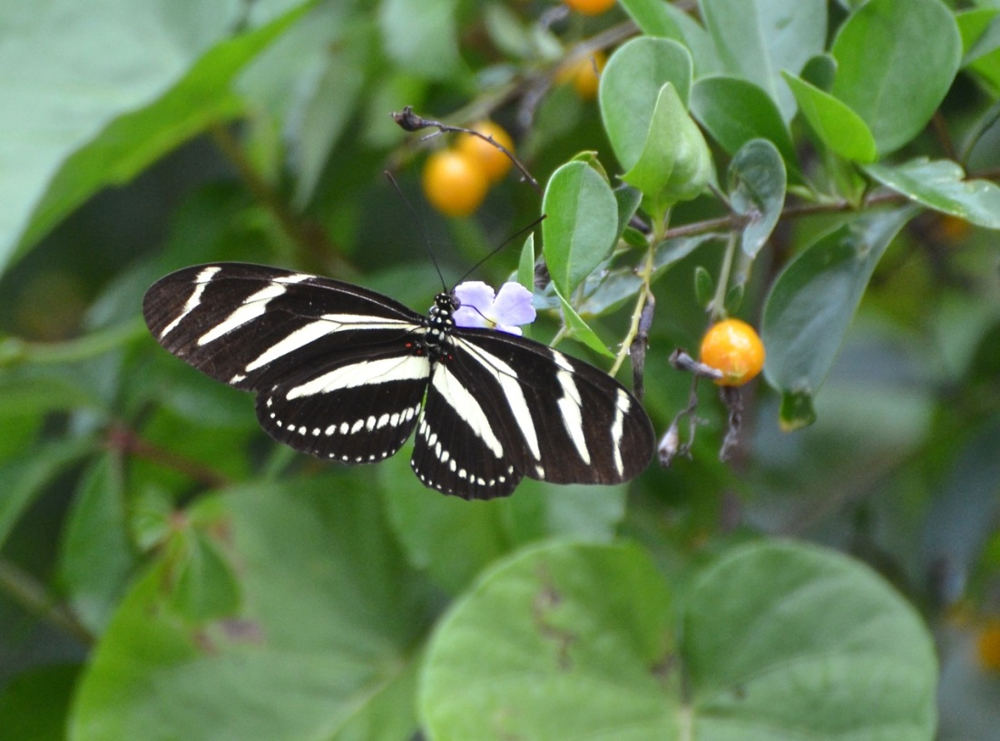 Zebra Heliconian Abaco Charlie Skinner