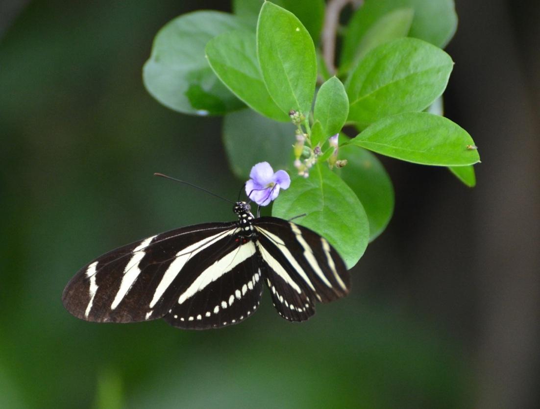 Zebra Heliconium Abaco CS 6