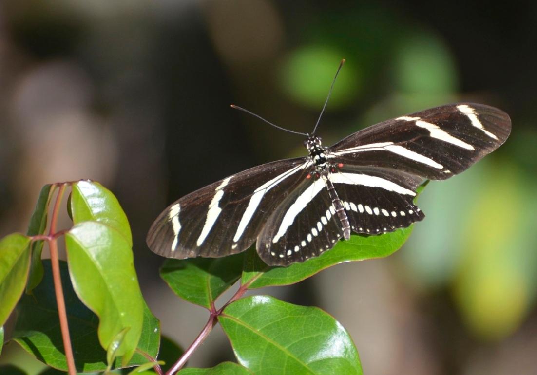 Zebra Heliconium Abaco CS 7