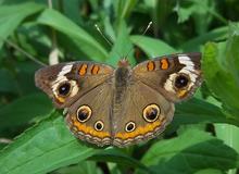 220px-Buckeye_Butterfly_(Junonia_coenia)