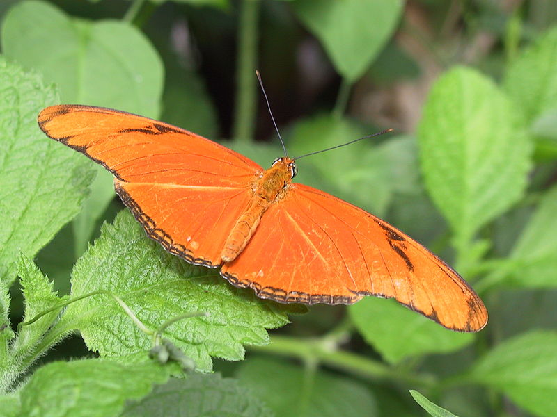 800px-Julia-heliconian-butterfly