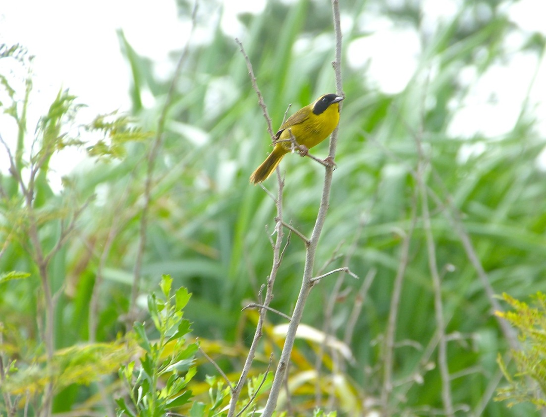 Bahama Yellowthroat Abaco 1