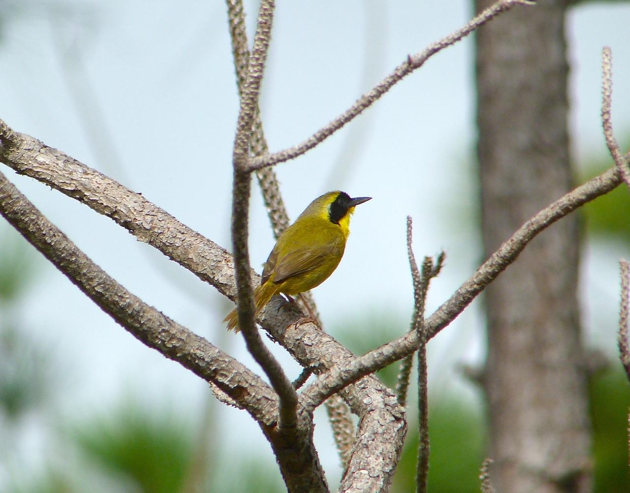 Bahama Yellowthroat Abaco 2