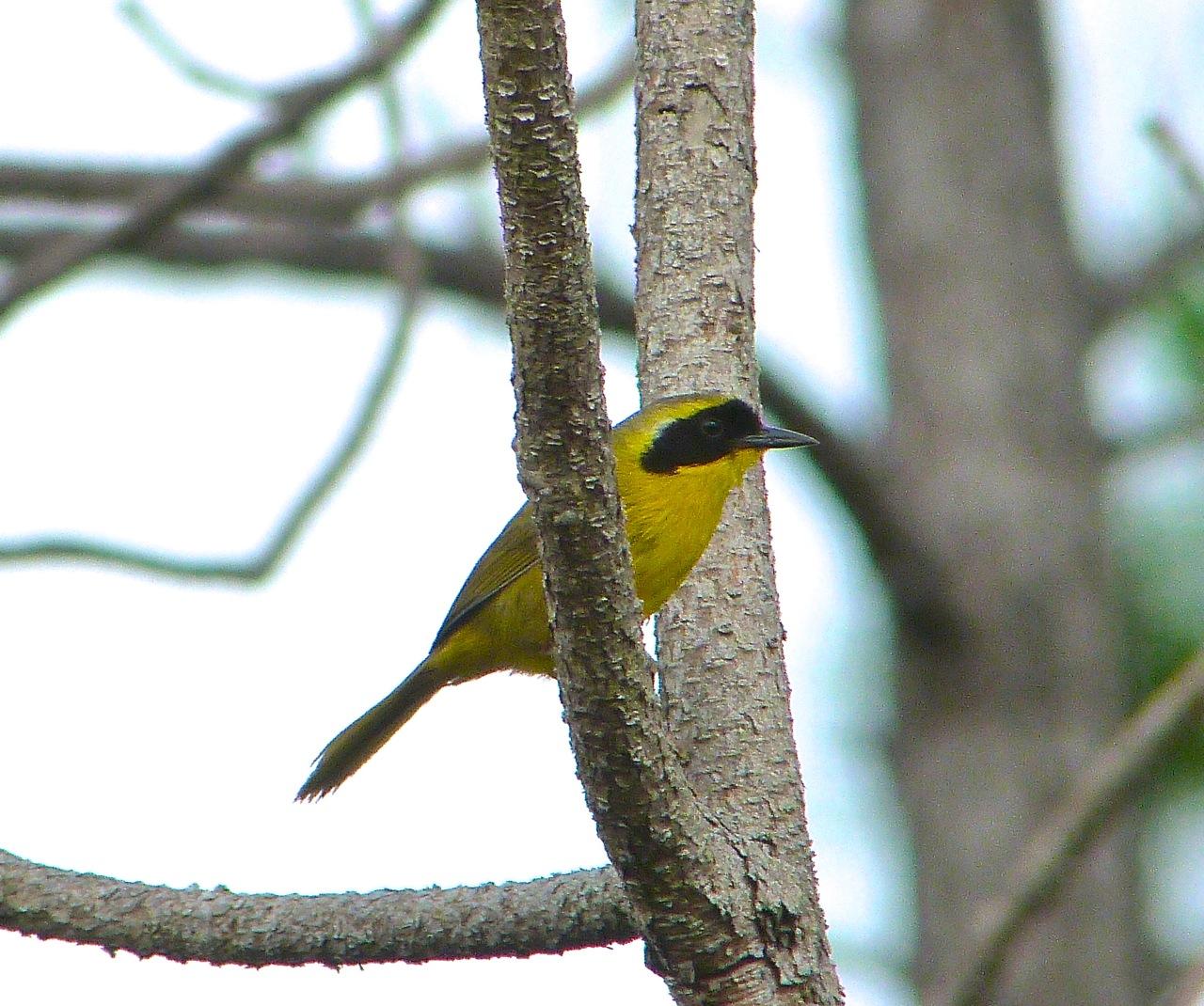 Bahama Yellowthroat Abaco 3