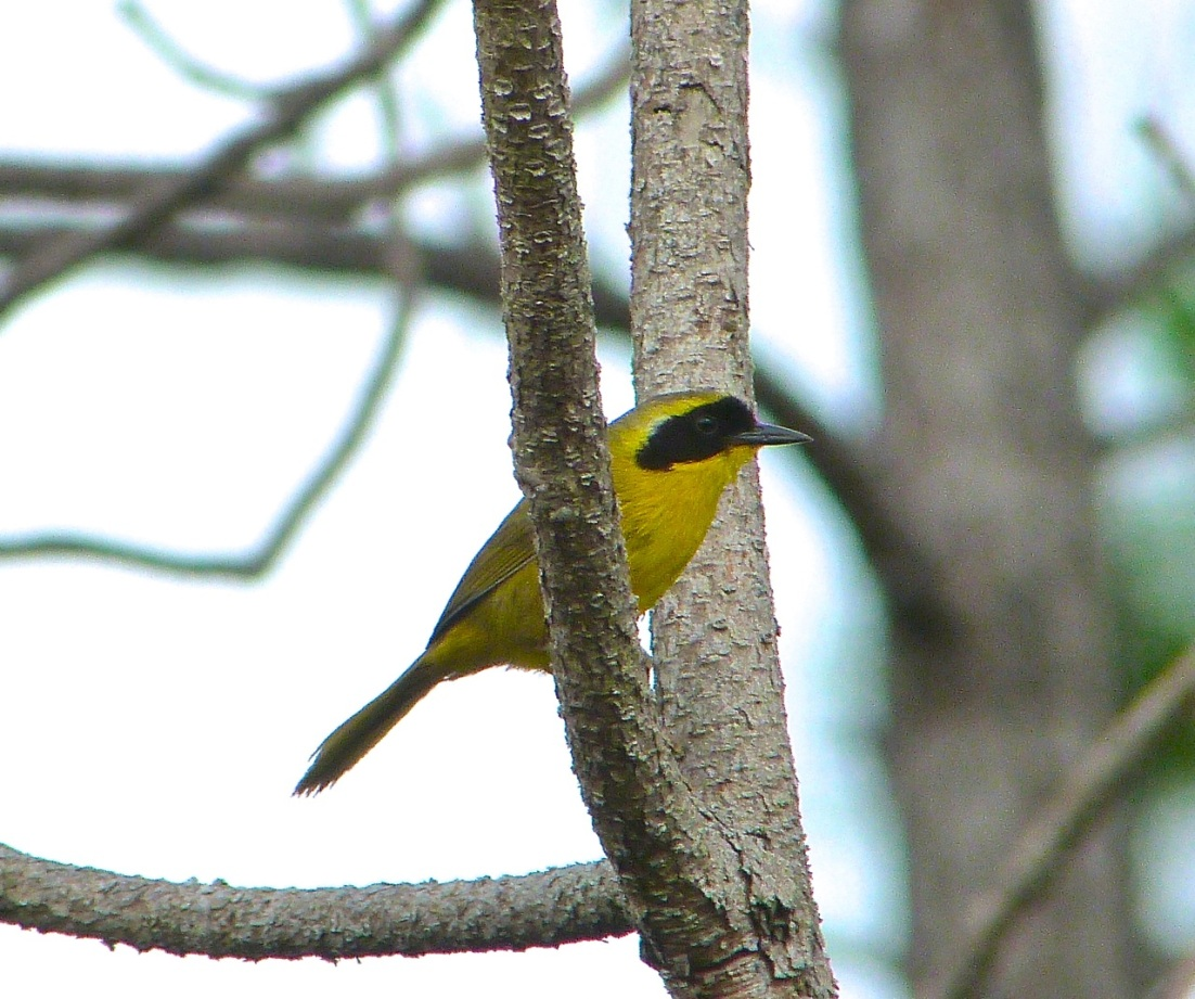 Bahama Yellowthroat Abaco 3