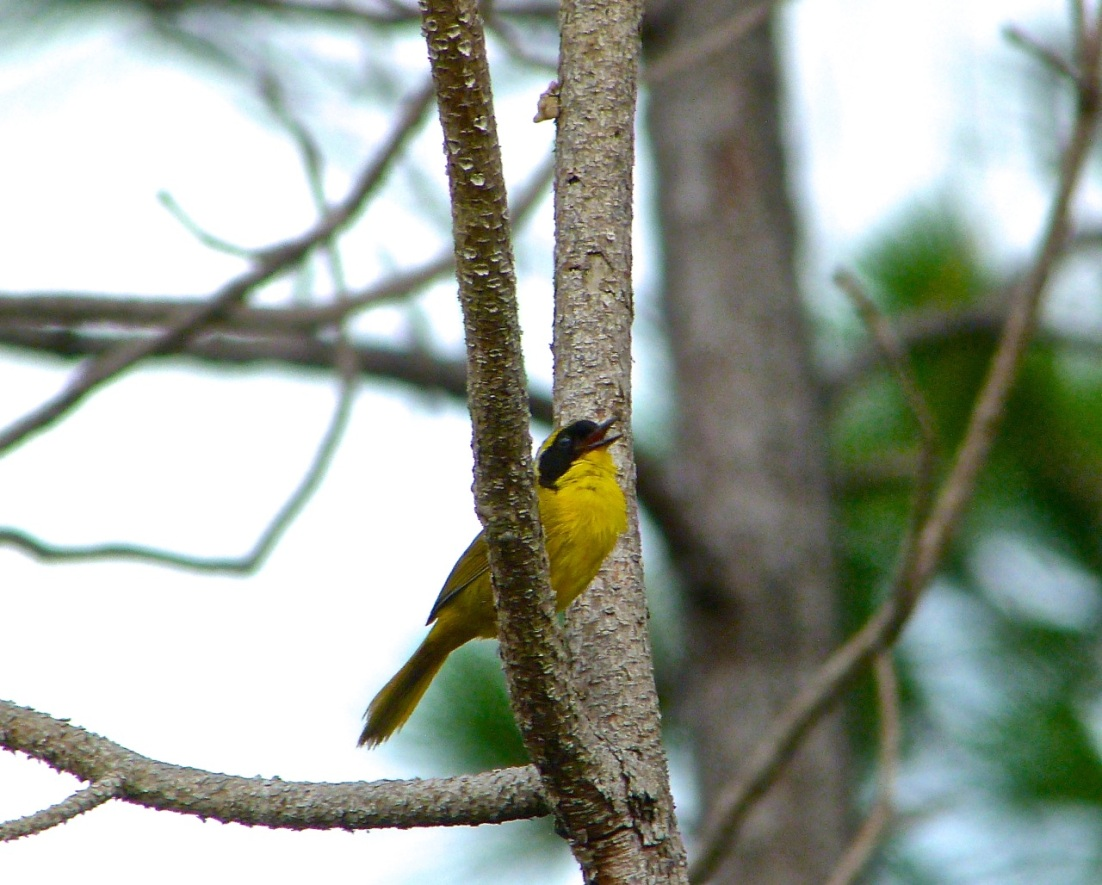 Bahama Yellowthroat Abaco 4