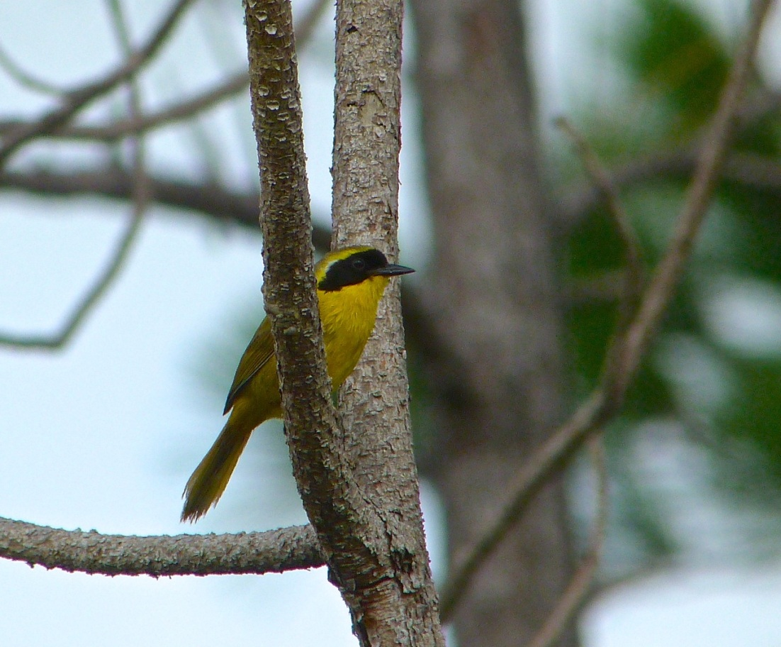 Bahama Yellowthroat Abaco 5