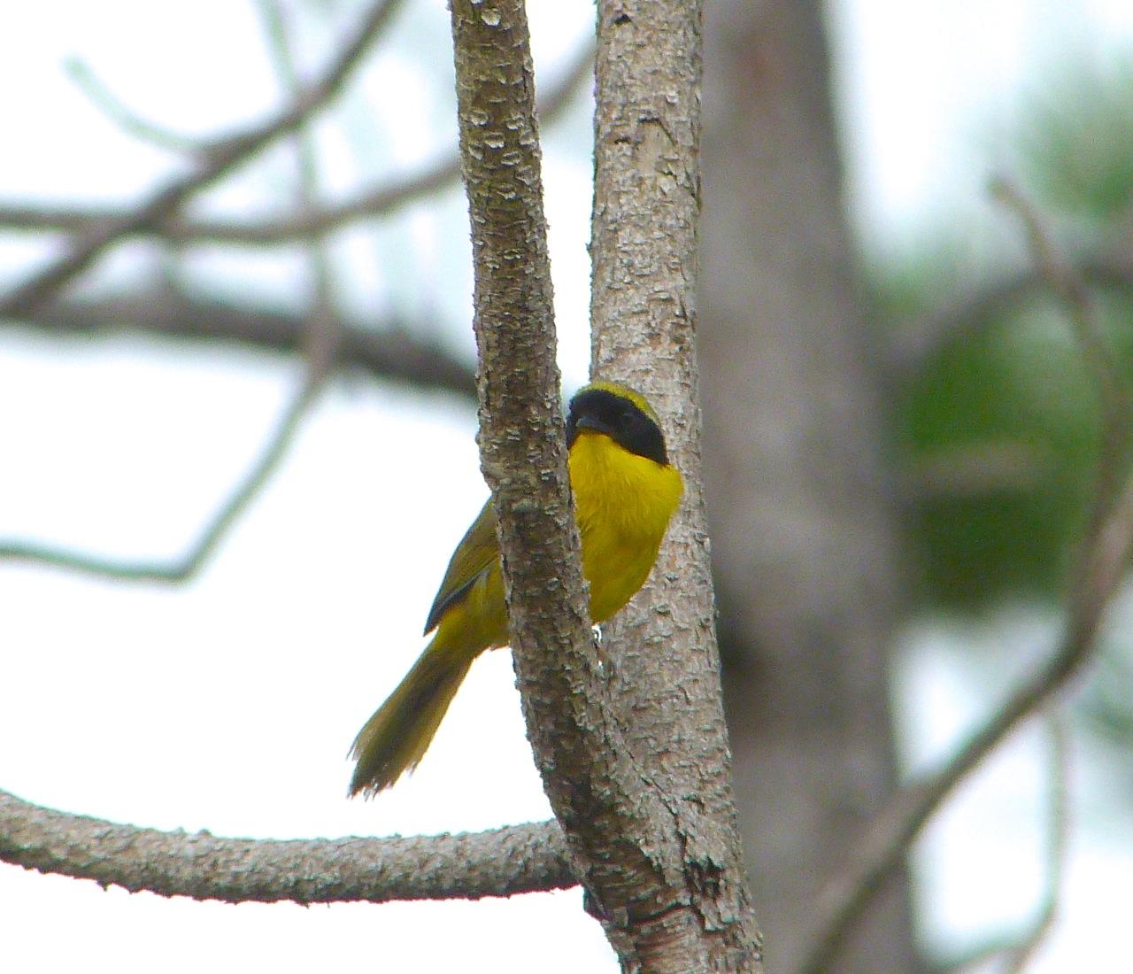 Bahama Yellowthroat Abaco 6