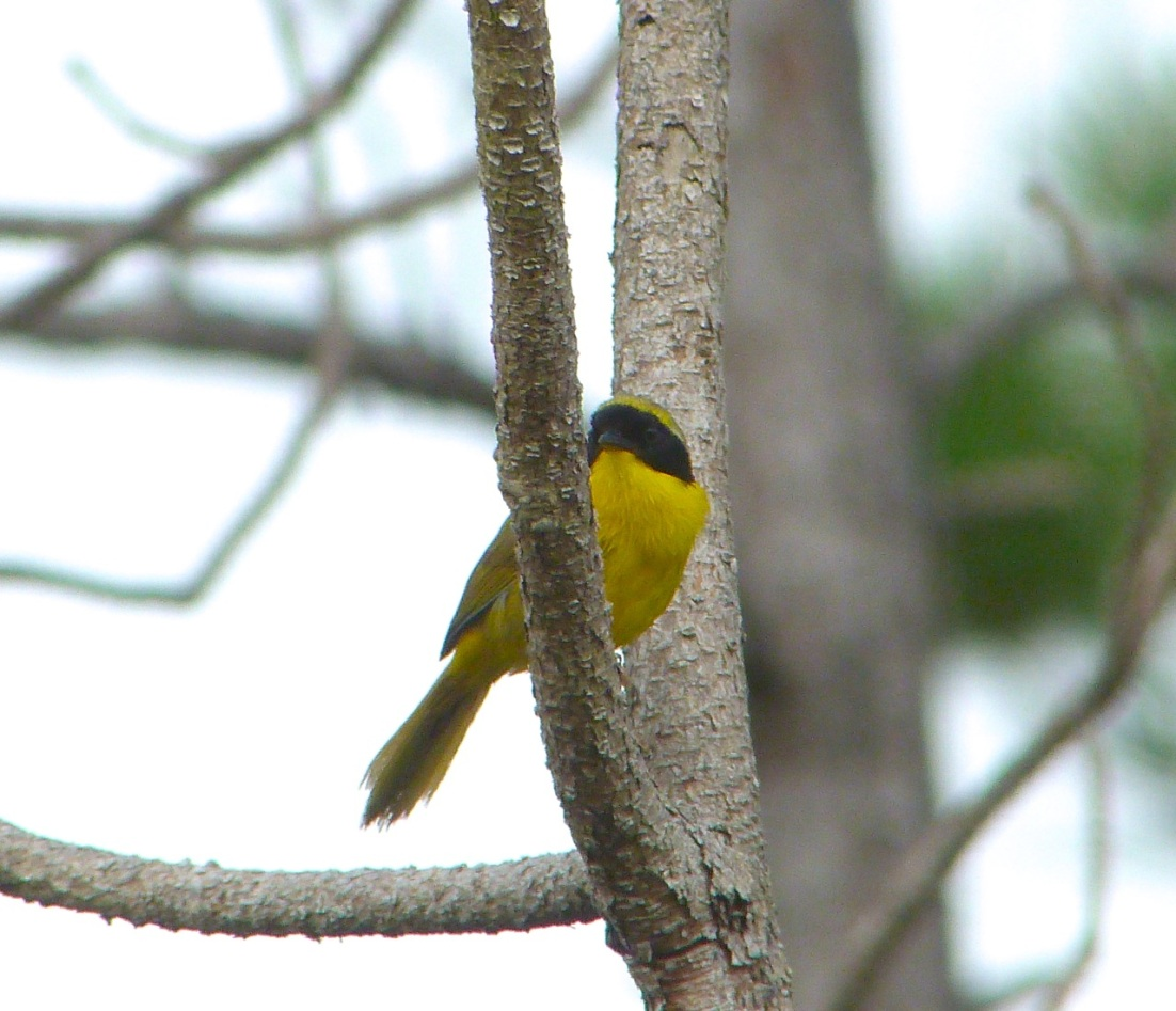 Bahama Yellowthroat Abaco 6