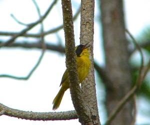 Bahama Yellowthroat Abaco 7