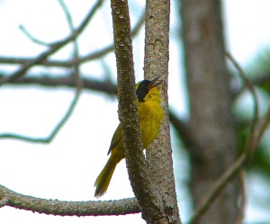Bahama Yellowthroat Abaco 7