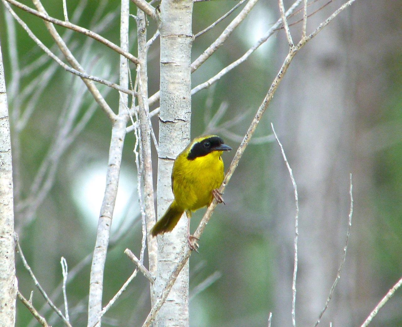 Bahama Yellowthroat Abaco 8