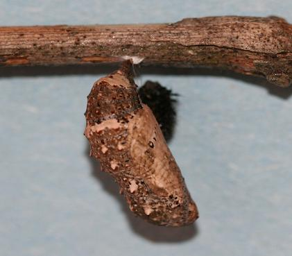 Common_Buckeye_chrysalis,_Megan_McCarty43