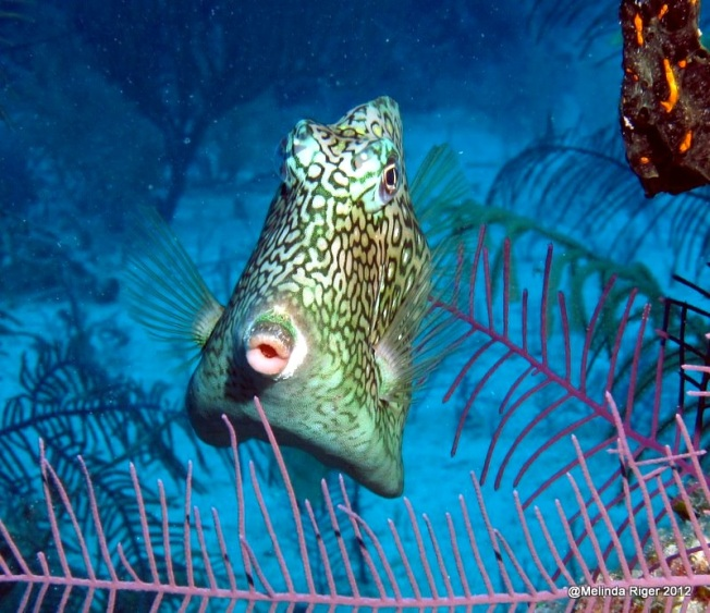 Cowfish ©Melinda Riger @ Grand Bahama Scuba