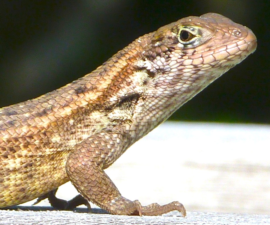 Curly Tail Lizard, Delphi, Abaco 1