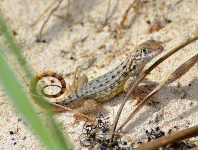 Curly Tail Lizard, Delphi, Abaco CS2