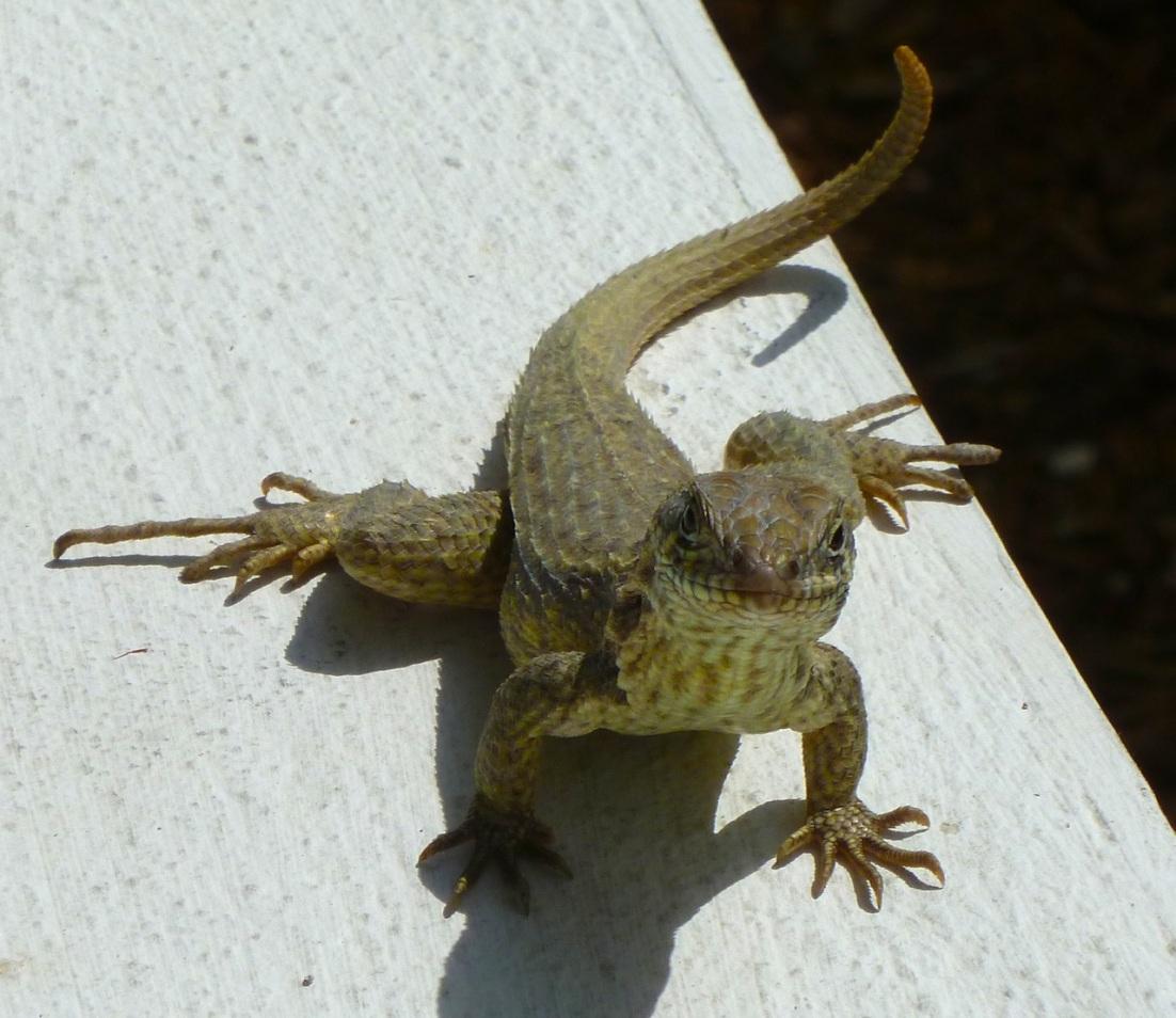 Curly Tail Lizard, Delphi, Abaco RH