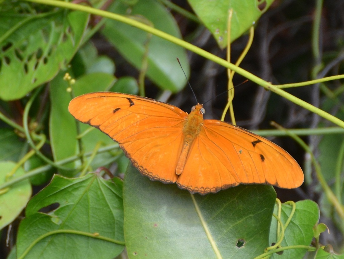 Dryas Julia Butterfly CS 1