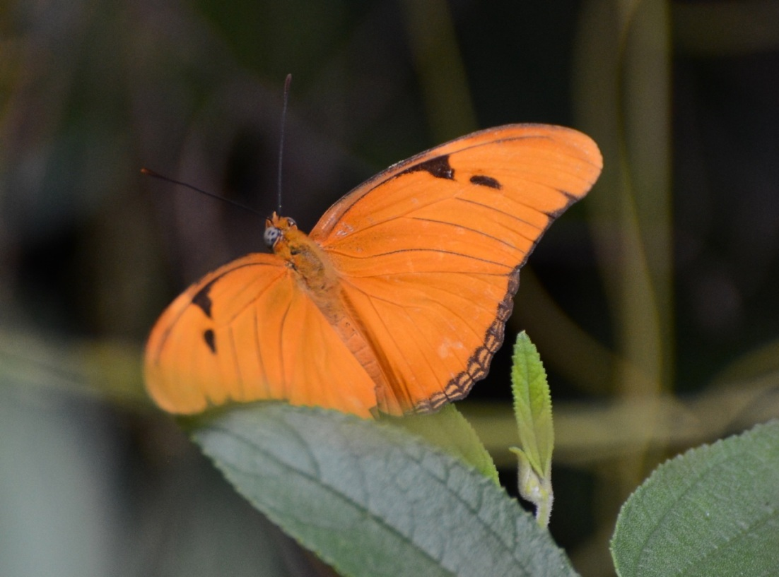 Dryas Julia Butterfly CS 2