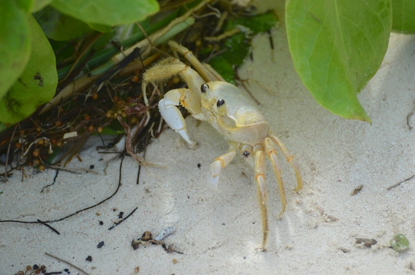 Ghost Crab Delphi Beach 1