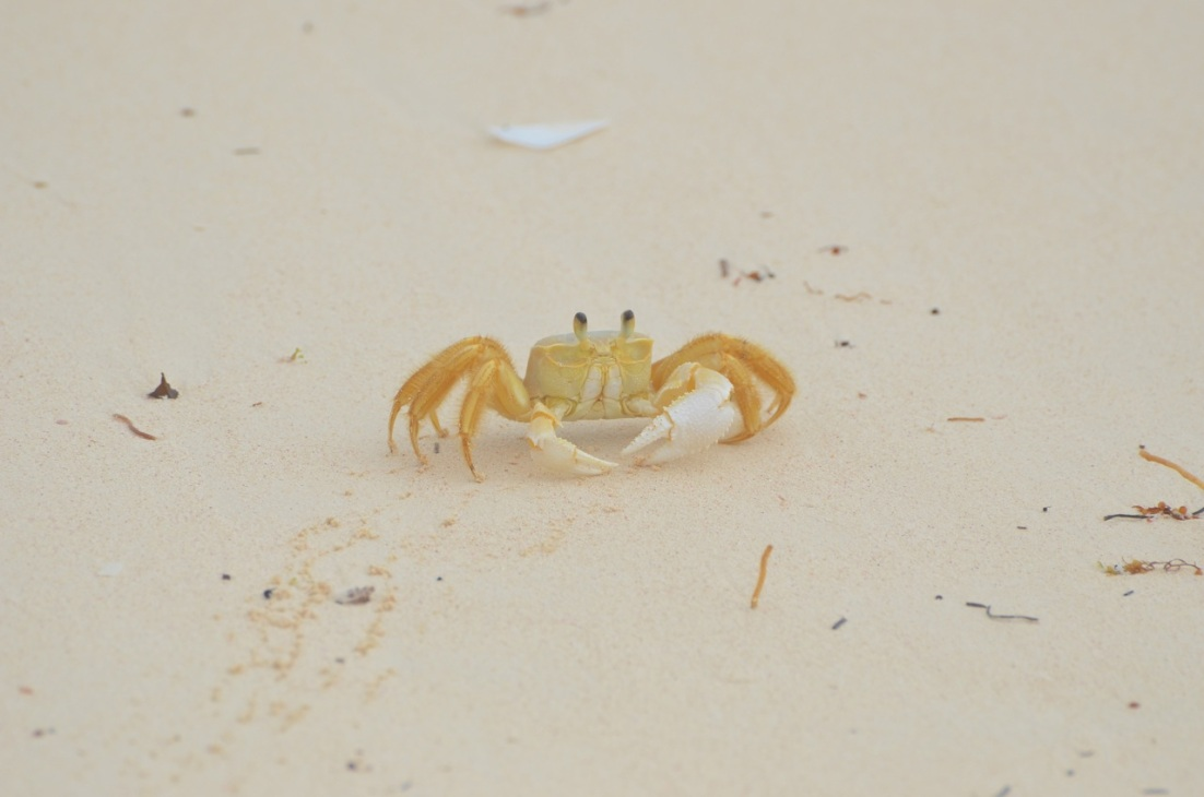Ghost Crab Delphi Beach 3