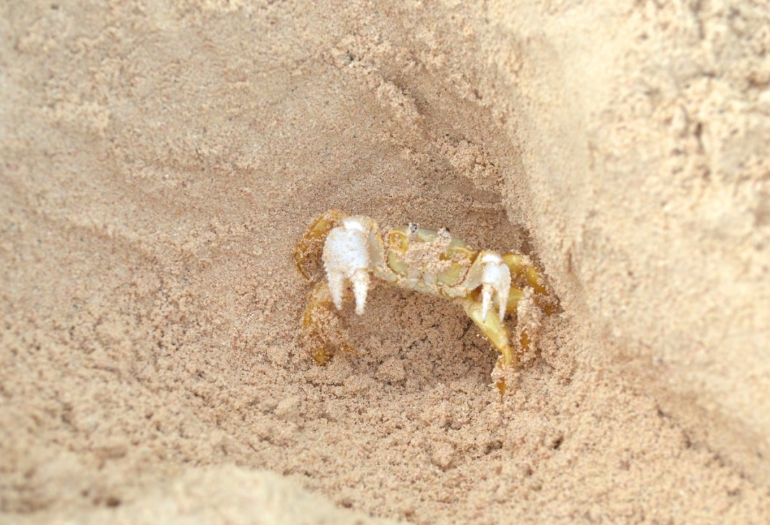 Ghost Crab Delphi Beach 4