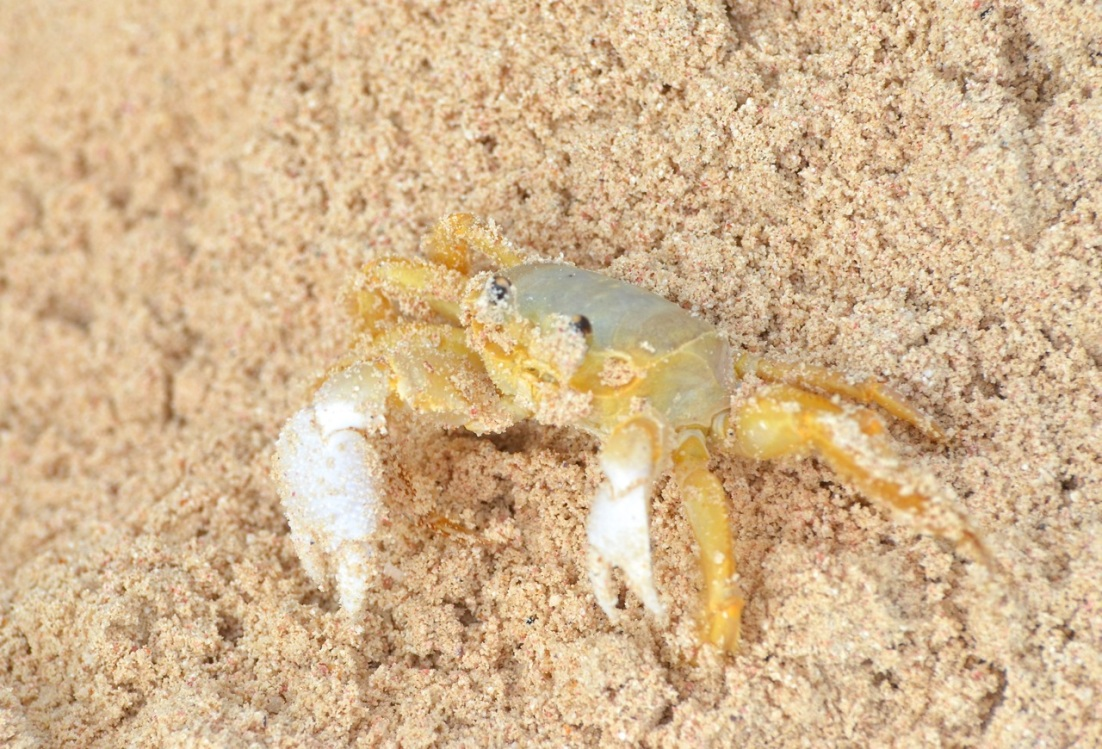 Ghost Crab Delphi Beach 5