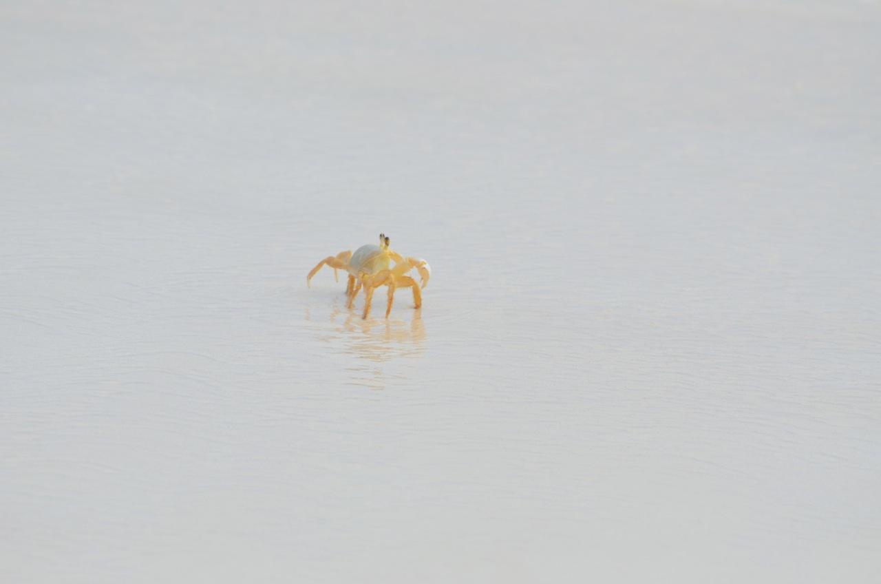 Ghost Crab Delphi Beach 6
