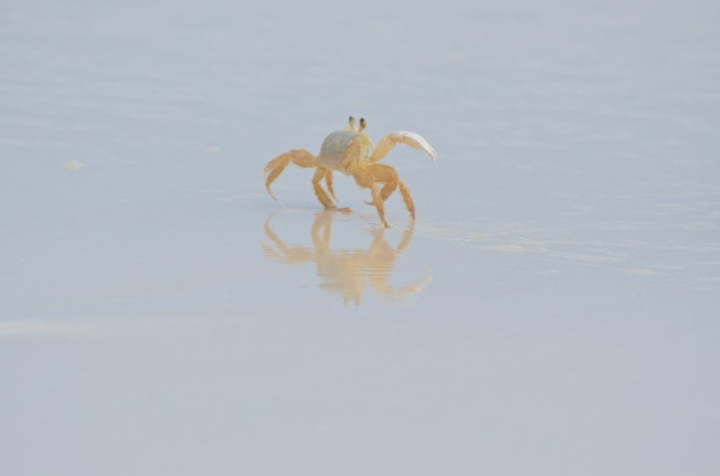 Ghost Crab Delphi Beach 7