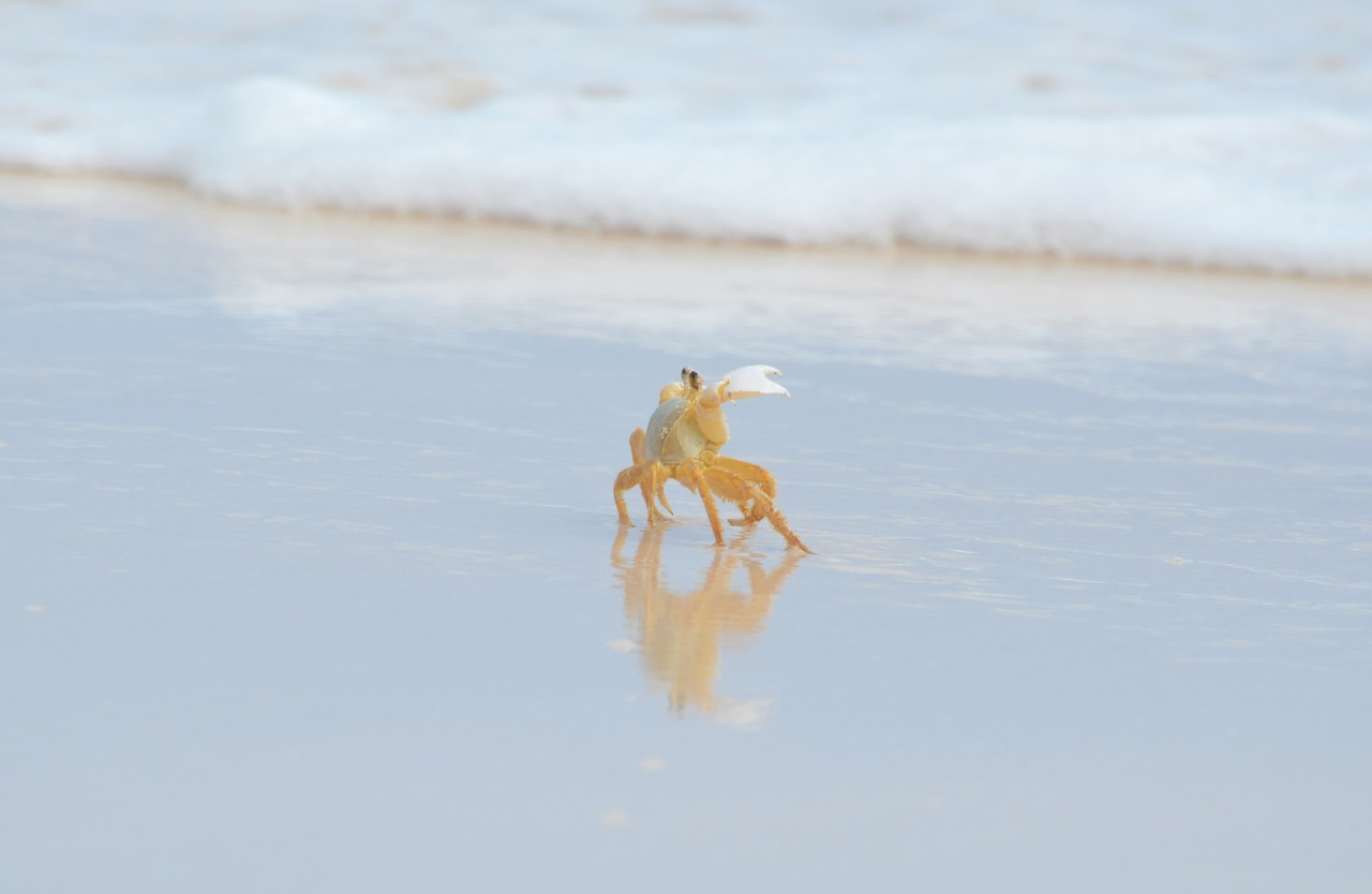 Ghost Crab Delphi Beach 8