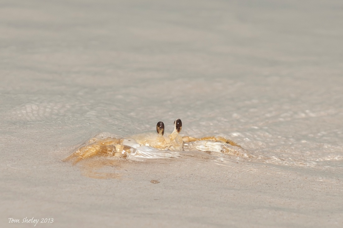 Ghost Crab in surf.Delphi Club.Abaco bahamas.6.13.Tom Sheley copy