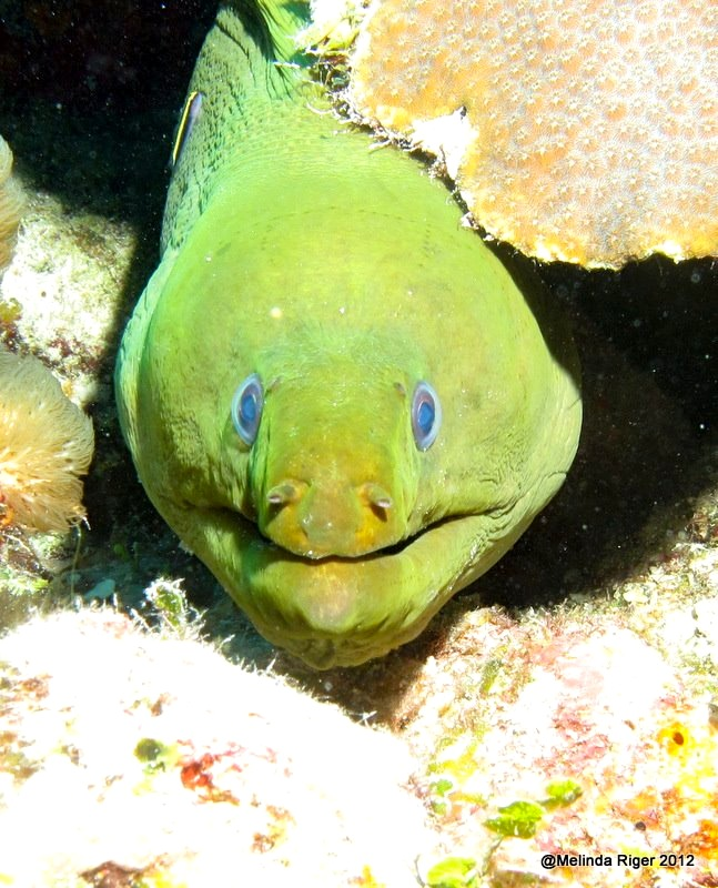 Green Moray Eel ©Melinda Riger @ Grand Bahama Scuba copy