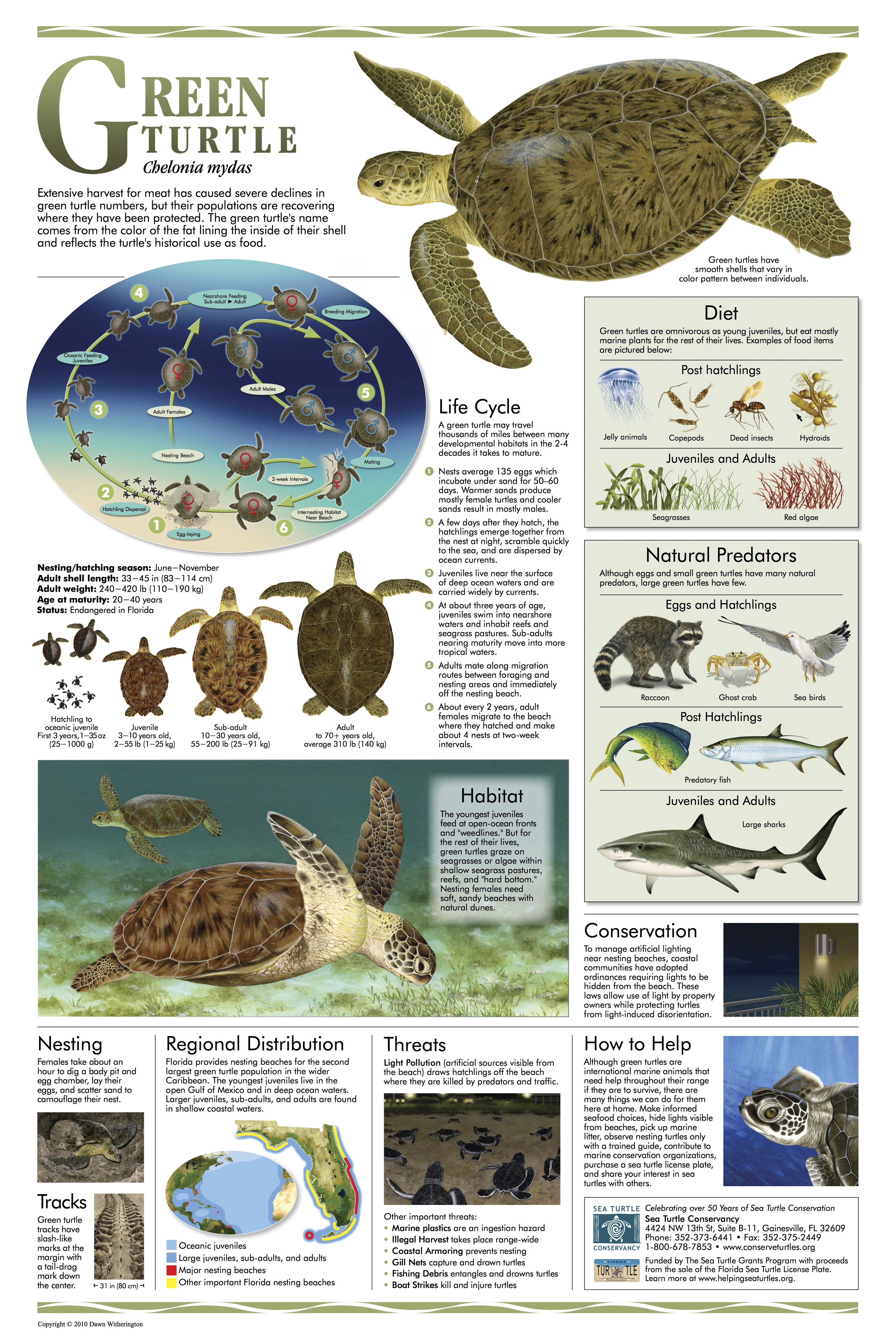 sea turtle posters rolling harbour abaco