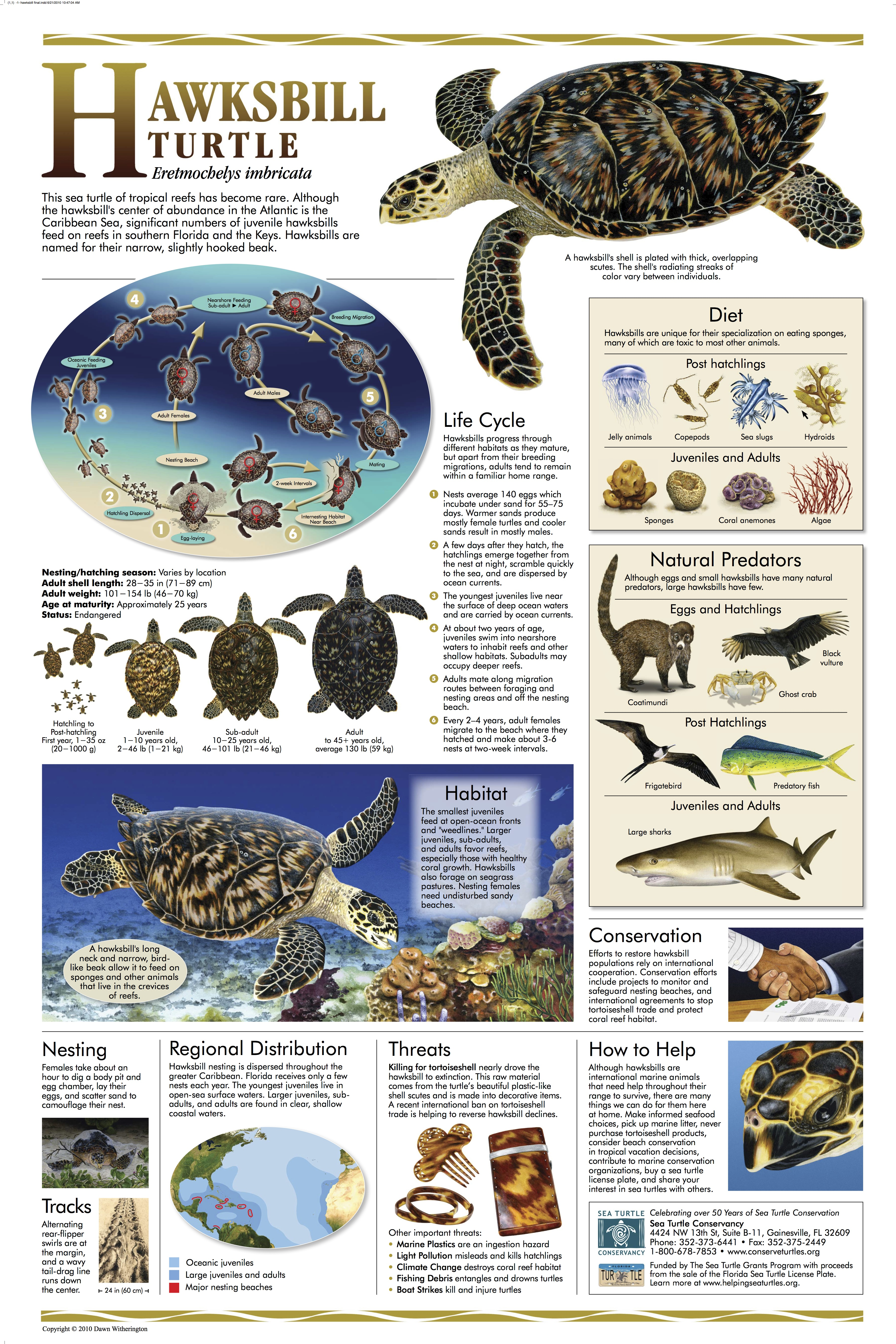 SEA TURTLE POSTERS | ROLLING HARBOUR ABACO