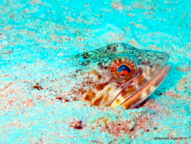 Sand Diver Fish copy