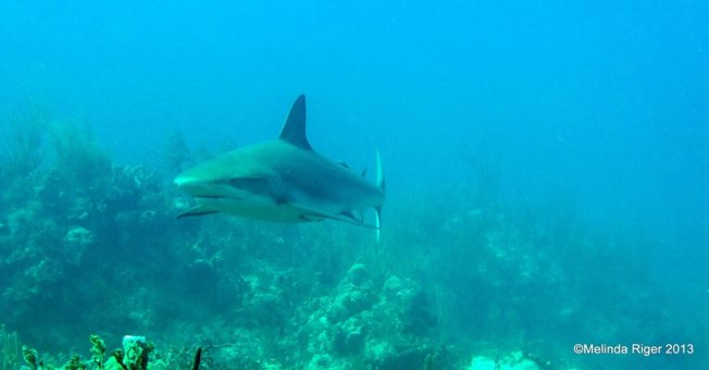 Shark ©Melinda Riger @ Grand Bahama Scuba copy
