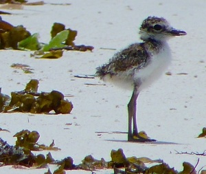 Tiny Wilson's Plover for 2014