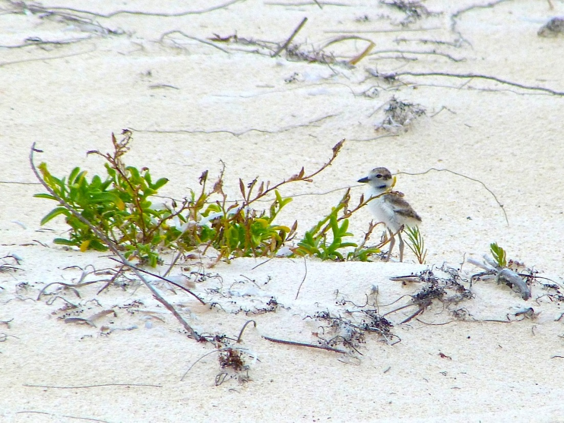 Wilson's Plover Chick, Delphi Beach, Abaco