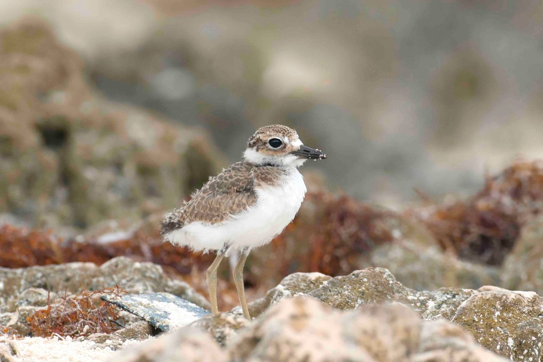 Wilson's Plover chick.Delphi Club.Abaco Bahamas.Tom Sheley JPG