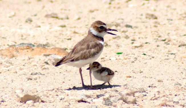 Wilson's Plover & Chick, Delphi Beach, Abaco - Sandy Walker