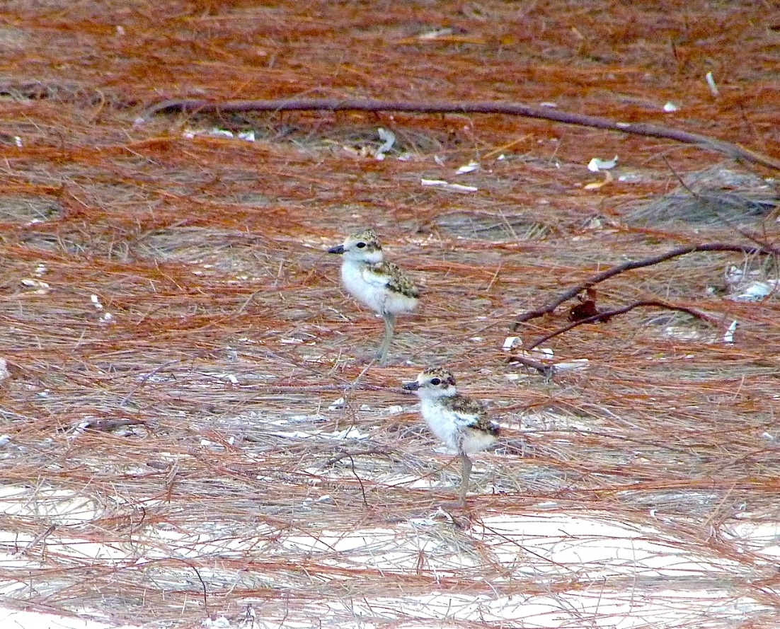 Wilson's Plover Chicks Delphi Beach