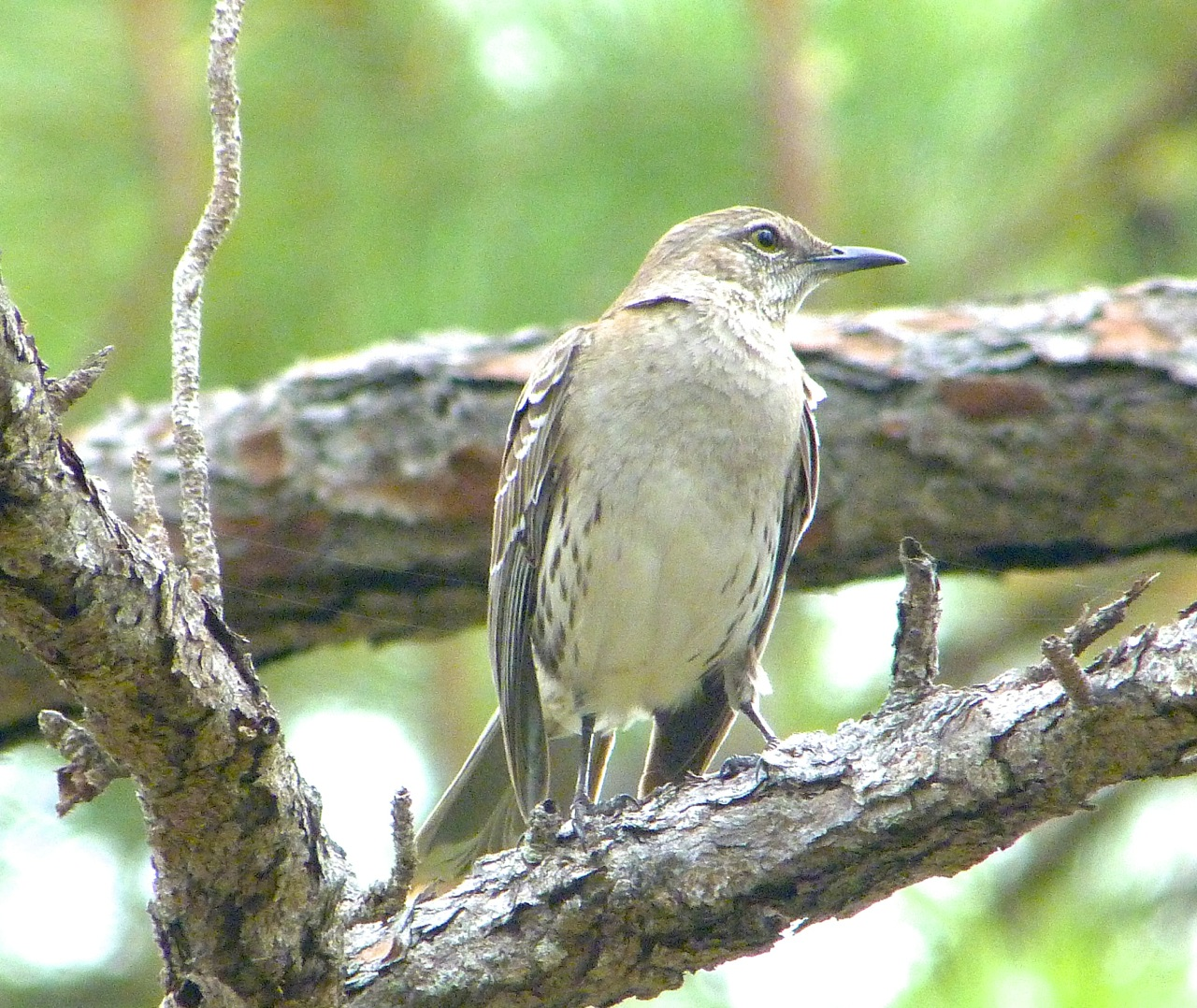 Bahama Mockingbird, National Park, Abaco