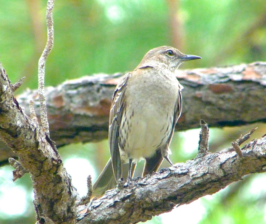 Bahama Mockingbird, National Park, Abaco
