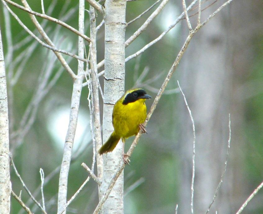 Bahama Yellowthroat, Abaco